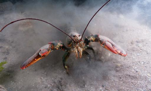A lobster in its natural habitat. Its claws are held up and its legs stir the bottom, muddying the water.